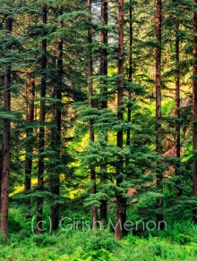 pinewood forest girish menon photography
