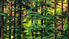 pinewood forest girish menon photography